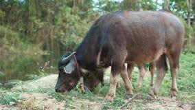 El búfalo come la hierba metrajes