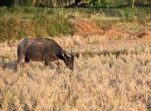 El búfalo come el rastrojo del arroz Foto de archivo libre de regalías