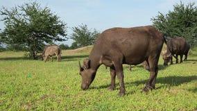 El búfalo de agua come la hierba y el paseo frescos en campo Imagenes de archivo