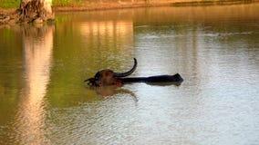 El búfalo de agua con solamente un cuerno coloca el cuello profundamente en el lago almacen de metraje de vídeo