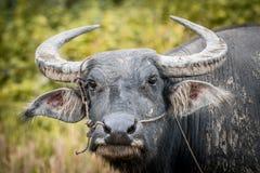 El búfalo de agua en Tailandia Fotografía de archivo