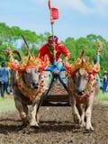 El búfalo de agua tradicional del Balinese compite con Makepung en Negara Fotos de archivo