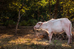 El búfalo del albino (búfalo blanco) pasta en el prado en la puesta del sol Imágenes de archivo libres de regalías
