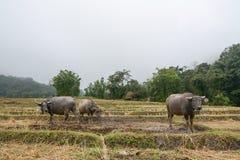 El búfalo en terrazas del arroz coloca en Mae Klang Luang, Chiang Mai, Tailandia Imagen de archivo libre de regalías