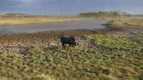 El búfalo es manchado con fango del calor que pasta por la charca en sabana africana almacen de video