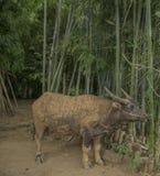 El búfalo está comiendo Fotos de archivo libres de regalías