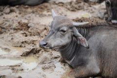 El búfalo miente en una piscina sucia Fotos de archivo