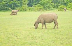 El búfalo pasta Fotografía de archivo