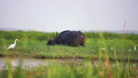 El búfalo salvaje con el pájaro alba del ardea blanco de la garceta en naturaleza en las aves acuáticas del noi del thale reserva metrajes