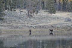 El búfalo vaga por al río foto de archivo