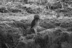 El búho Imagen de archivo