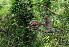 El búho barrado que alimenta sus jóvenes en una rama, alas abre hacerse frente Fotos de archivo