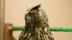 El búho de Eagle centella y hace girar la cabeza almacen de metraje de vídeo