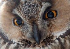 El búho de orejas alargadas - ojos del otus del Asio. Imágenes de archivo libres de regalías