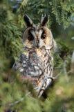 El búho de orejas alargadas (otus del Asio) en el árbol Imagen de archivo libre de regalías
