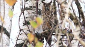 El búho se sienta entre las ramas de una lluvia del otoño almacen de video