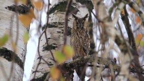 El búho se sienta entre las ramas de una nieve del otoño almacen de metraje de vídeo