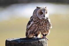 El b?ho de orejas alargadas, otus del Asio en un parque de naturaleza alem?n imagen de archivo libre de regalías