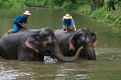 El baño de los Mahouts y limpia los elefantes en el río Fotos de archivo libres de regalías