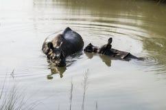 El baño del rinoceronte Foto de archivo