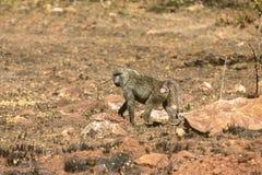 El babuino Fotos de archivo libres de regalías