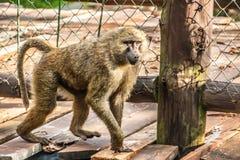 El babuino camina en el puente de madera fotografía de archivo libre de regalías
