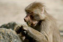 El babuino de Hamadryas está comiendo Fotografía de archivo
