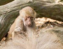 El babuino femenino de los hamadryas está buscando pulgas Fotografía de archivo