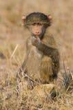 El babuino lindo del bebé se sienta en la hierba marrón que aprende sobre la naturaleza qué t Fotografía de archivo libre de regalías