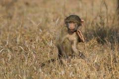 El babuino lindo del bebé se sienta en la hierba marrón que aprende sobre la naturaleza qué t Fotografía de archivo