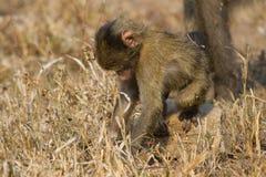El babuino lindo del bebé se sienta en la hierba marrón que aprende sobre la naturaleza qué t Foto de archivo