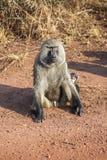 El babuino que se está sentando con el pene desnudo Foto de archivo libre de regalías