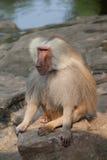 El babuino se sienta en roca Imagen de archivo