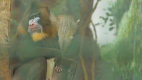 El babuino se sienta en un registro de madera y mastica el hamadryad Papio almacen de video