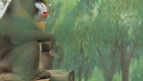 El babuino se sienta en un registro de madera y mastica el hamadryad Papio almacen de metraje de vídeo