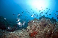 El bajío de pescados nada junto para encontrar la comida abajo del mar Fotos de archivo