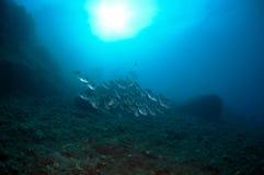 El bajío de pescados nada junto para encontrar la comida abajo del mar Foto de archivo libre de regalías