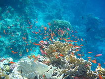 El bajío de pescados rojos Imagenes de archivo