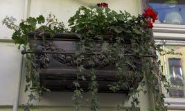 El balcón se cubre con las vides de uvas salvajes adornamiento de la fachada de un edificio de varios pisos Foto de archivo