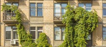 El balcón se cubre con las vides de uvas salvajes adornamiento de la fachada de un edificio de varios pisos Fotos de archivo libres de regalías