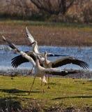 El ballet de las cigüeñas blancas Imagen de archivo