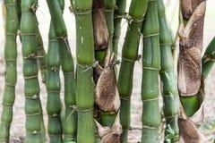 El bambú pega el primer Foto de archivo