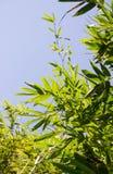 El bambú sale de la foto Fotografía de archivo libre de regalías