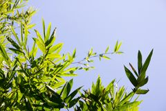 El bambú sale de la foto Imagen de archivo
