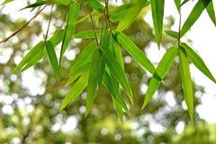 El bambú verde hermoso se va en un primer del fondo de la selva Imagenes de archivo