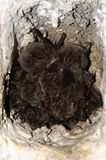 El barbastellus occidental de Barbastelle Barbastella foto de archivo