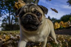 El barro amasado que juega en caída sale del perrito del otoño fotos de archivo libres de regalías