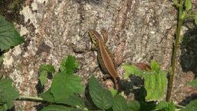 El basarse femenino embarazada del lagarto sobre tronco de árbol, enfoca detalladamente almacen de video