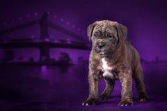 El bastón Corso de la raza del perrito se coloca en el fondo de la ciudad de la noche imagenes de archivo