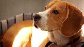 El beagle criado en línea pura que miente en el sofá en el sol de la mañana irradia almacen de metraje de vídeo